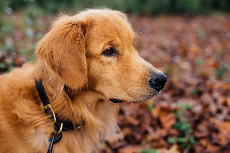 common ailments for Golden Retrievers