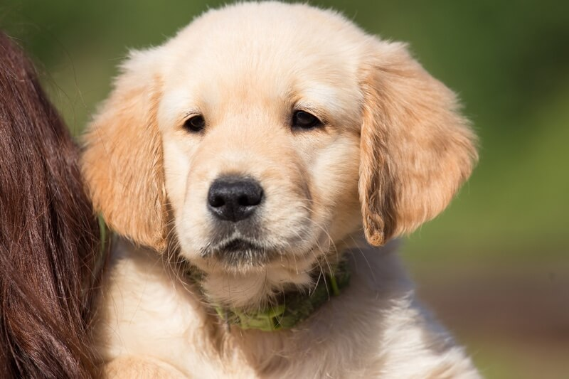 golden retriever personality traits
