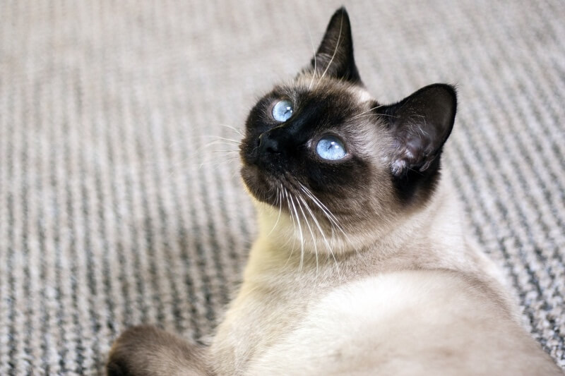 Siamese cat laying on carpet _ physical attributes