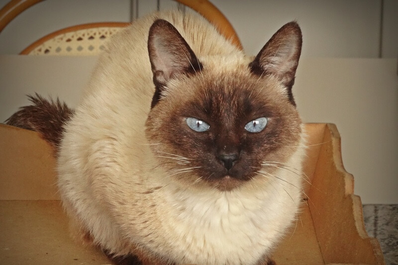 Siamese cat name ideas