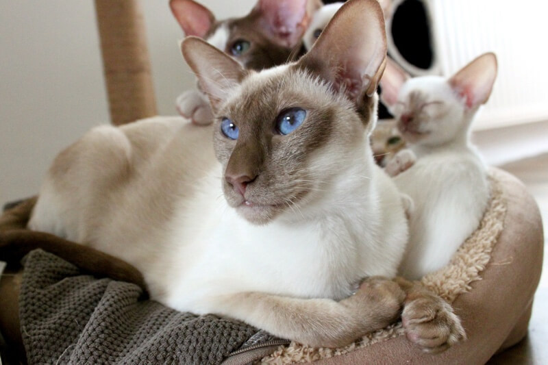 Siamese cat with kittens _ personality