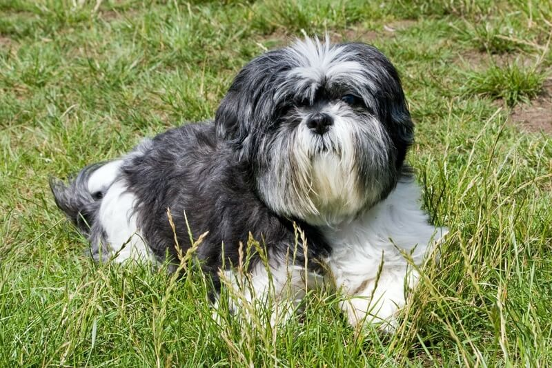 top pet insurance claims for Shih Tzu dogs